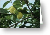 Guava Greeting Cards - Guava Greeting Card by Michael Wolfe