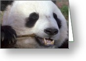 Panda Greeting Cards - Happiness Greeting Card by Mitch Cat