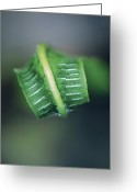 New Britain Greeting Cards - Harts Tongue Fern Unfurling Greeting Card by Colin Varndell