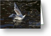 Lapwing Photo Greeting Cards - Head Under Water Greeting Card by Michal Boubin