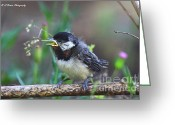 Poecile Carolinensis Greeting Cards - Hello World Greeting Card by Barbara Bowen