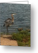 Tamara Stoneburner Greeting Cards - Heron in Profile Greeting Card by Tamara Stoneburner