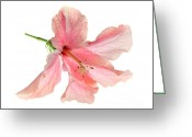 Delicate Bloom Greeting Cards - Hibiscus Greeting Card by Nicholas Burningham