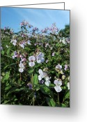 Impatiens Flowers Greeting Cards - Himalayan Balsam (impatiens Glandulifer) Greeting Card by Cordelia Molloy