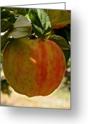 Ripened Fruit Greeting Cards - Honey Crisp Greeting Card by Susan Herber