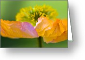 Yellow Greeting Cards - Iceland Poppy Greeting Card by Silke Magino