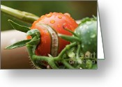 Food And Beverage Greeting Cards - Immature tomatoes Greeting Card by Sami Sarkis