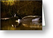 Wild Goose Greeting Cards - In the warm evening sunlight Greeting Card by Angel  Tarantella