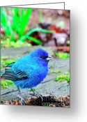 Sparrow Greeting Cards - Indigo Bunting Greeting Card by Thomas R Fletcher