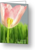 Stamen Greeting Cards - Inside of a pink tulip Greeting Card by Sandra Cunningham