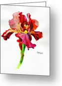 Fushia Painting Greeting Cards - Iris Greeting Card by Jimmie Trotter