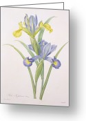 Floral Drawings Greeting Cards - Iris xiphium Greeting Card by Pierre Joseph Redoute