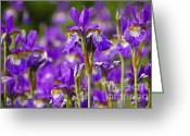 Flowerbed Greeting Cards - Irises Greeting Card by Elena Elisseeva
