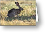 Hare Greeting Cards - Jackrabbit Greeting Card by Cristina Lichti