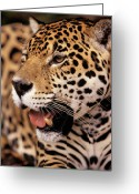 Cat Profile Greeting Cards - Jaguar Panthera Onca Portrait, Guyana Greeting Card by SA Team