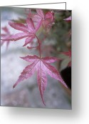 Maiko Greeting Cards - Japanese Maple (acer beni-maiko) Greeting Card by Maxine Adcock
