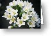 Flower Blossom Greeting Cards - Japanese Plum Blossom (prunus Salicina) Greeting Card by Dr. Nick Kurzenko