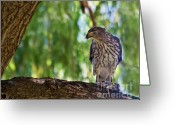 Colorado Creatures Greeting Cards - Juvenile Coopers Hawk Greeting Card by Crystal Garner