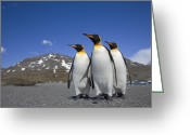 Sub Greeting Cards - King Penguin Aptenodytes Patagonicus Greeting Card by Ingo Arndt