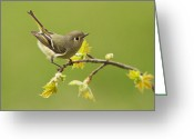 Migrant Greeting Cards - Kinglet Greeting Card by Mircea Costina Photography