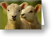 Livestock Greeting Cards - Lambs Greeting Card by Ginny Battson