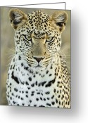 Carnivores Greeting Cards - Leopard Panthera Pardus Female Greeting Card by Martin Van Lokven