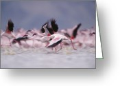African Animals Greeting Cards - Lesser Flamingo Flock Taking Flight Greeting Card by Tim Fitzharris