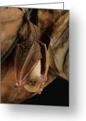 Bat Greeting Cards - Lesser Long-tongued Fruit Bat Greeting Card by Ch