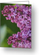 Tiny Flowers Greeting Cards - Lilac 1 Greeting Card by Carol Lynch