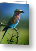 Kenya Greeting Cards - Lilac Breasted Roller Greeting Card by Joseph G Holland
