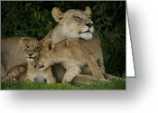 Resting Animals Greeting Cards - Lioness And Two Cubs Resting Greeting Card by Beverly Joubert