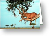 African Cats Greeting Cards - Lioness in Africa Greeting Card by Sebastian Musial