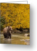 Grizzly Bears Greeting Cards - Looking for an Autumn Meal Greeting Card by Tim Grams