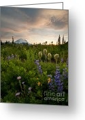 Aster  Photo Greeting Cards - Lupine Sunset Greeting Card by Mike  Dawson