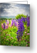 Stormy Sky Greeting Cards - Lupins in Newfoundland meadow Greeting Card by Elena Elisseeva