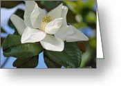 Magnolia Grandiflora Greeting Cards - Magnificence Greeting Card by Suzanne Gaff