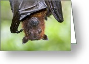 Black Fur Greeting Cards - Malayan Flying Fox Greeting Card by Tony Camacho
