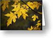 Maple Leaf Greeting Cards - Maple leafs of Yellow Greeting Card by Chad Davis