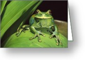 Amphibians Greeting Cards - Marsupial Frog Gastrotheca Orophylax Greeting Card by Pete Oxford