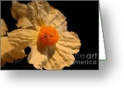 Flower Art Greeting Cards - Matilija Poppy Greeting Card by Cheryl Young