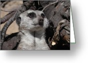 Adrienne Petterson Greeting Cards - Meerkat Greeting Card by Adrienne Petterson