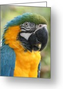 Dark Blue Chin Greeting Cards - Mele E Manono ia ea Macaw Tropical Birds of Hawaii Greeting Card by Sharon Mau