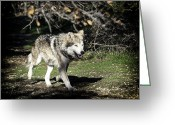 Barry Styles Greeting Cards - Mexican Grey Wolf 3830 Greeting Card by Barry Styles
