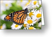 Orange Daisy Photo Greeting Cards - Monarch butterfly Greeting Card by Elena Elisseeva
