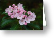 Mountain Laurel Greeting Cards - Mountain Laurel Greeting Card by Todd Hostetter