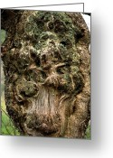 Old Tree Trunk Photo Greeting Cards - Oak Burr Greeting Card by Dr Keith Wheeler