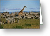 African Giraffes Greeting Cards - Odd Man Out Greeting Card by Michele Burgess