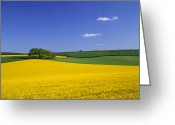 Rape Greeting Cards - Oilseed Rape (brassica Napus) Greeting Card by Adrian Bicker