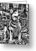 Working Dogs Greeting Cards - Ole Blue Eyes Greeting Card by JC Findley