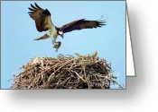 Osprey Photo Greeting Cards - Open Wings Greeting Card by Karen Wiles